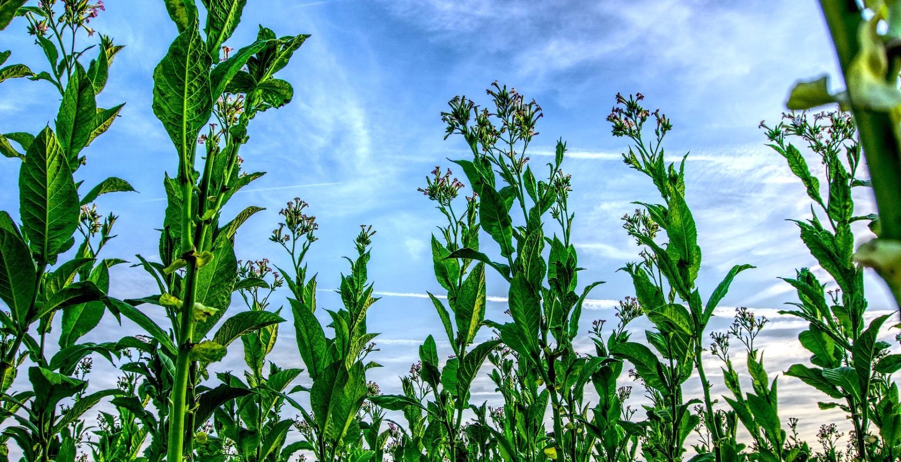 tobakksplanten